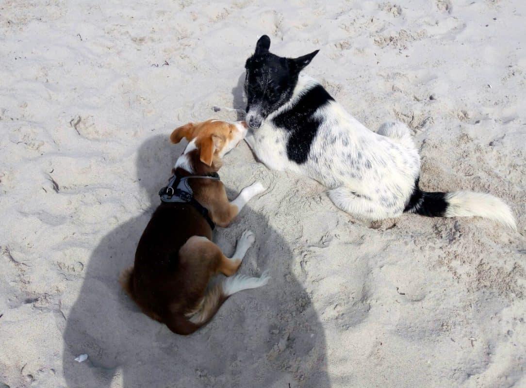 Zwei spielende Hunde am Hundestrand in Heidkate
