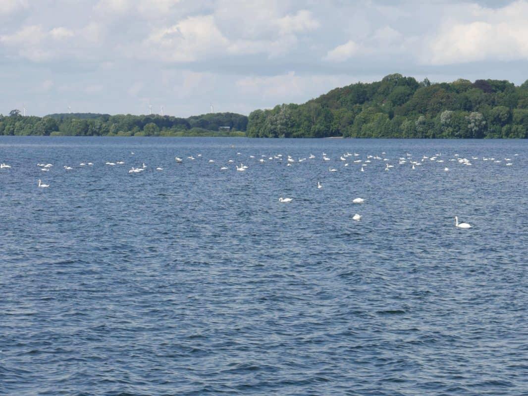 Viele männliche Schwäne auf dem Plöner See