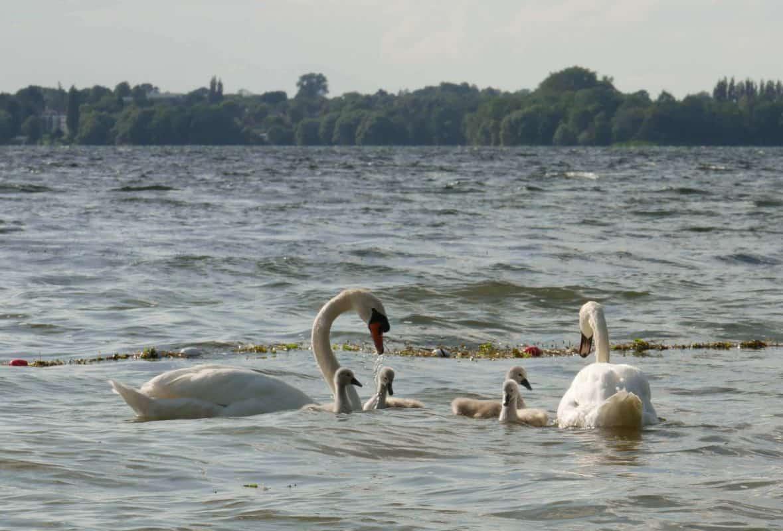 Schwanenfamilie im Plöner See